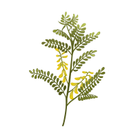 —Pngtree—astragalus_5643414